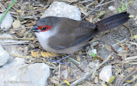 Common waxbill juvenile on Diamond Head trail, Oahu - © Denise Motard
