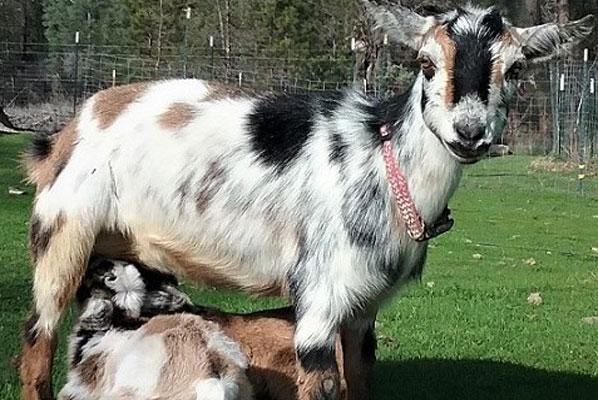 nigerian dwarf goats milk, raising nigerian dwarf goats, miniature nigerian dwarf goats @tamilfarming