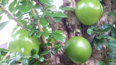 maja fruit pictures