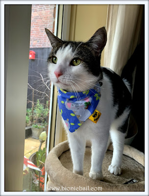 Fashion With Felines - Sharing The World of Kitty Couture and Apparel ©BionicBasil® Melvyn Modelling Eric's Empawrium Koala Bandana