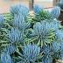 Suculenta Azulada - Senecio mandraliscae