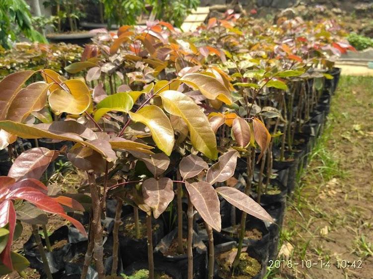 Bibit tanaman klengkeng merah super cepat berbuah hasil okulasi sambung pucuk Pekanbaru
