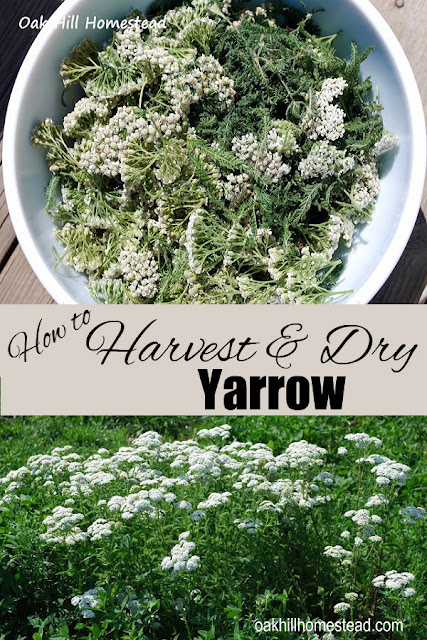 How to harvest and dry yarrow, from Oak Hill Homestead