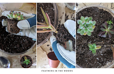How to unpot and place succulents in bowl garden.