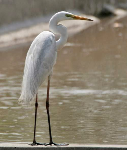 Indian birds - Eastern great egret - Ardea modesta