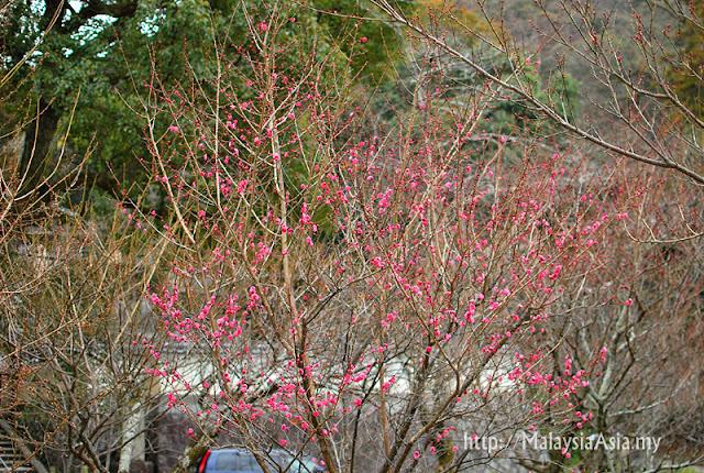 Kyoto Plum Blossom