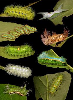 Stinging Nettle Slug Caterpillars of Cup Moths