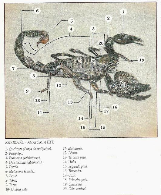 anatomia-escorpiões