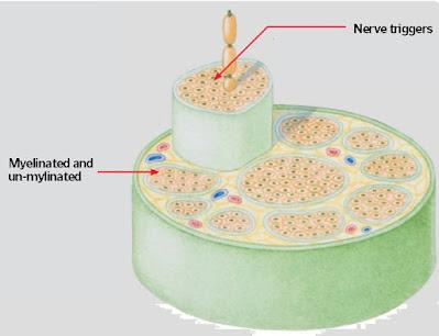 How Do Nerves Work?
