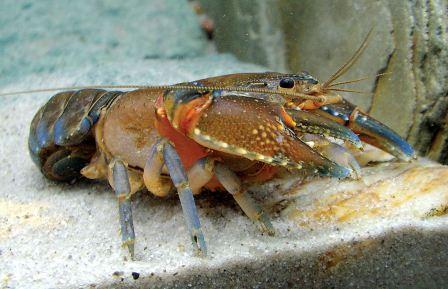 Analisa Peluang Usaha Budidaya Lobster Air Tawar Untung Besar
