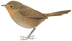 pilotbird