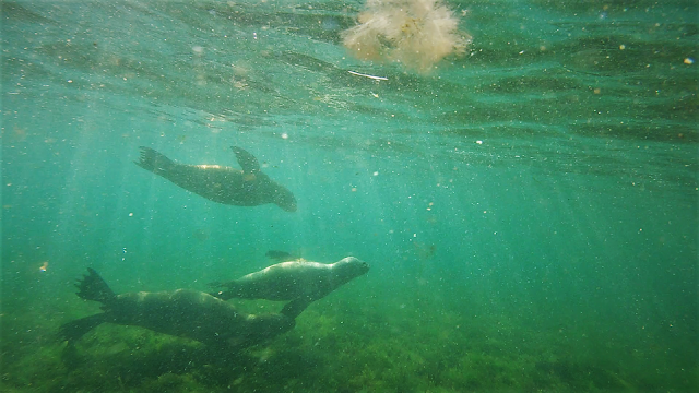Sealions off the coast of Patagonia, Argentina