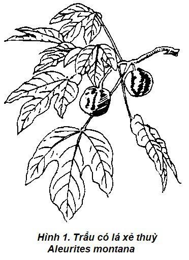 Hình vẽ 1 Trẩu - Aleurites montana - Nguyên liệu làm thuốc Có Chất Độc