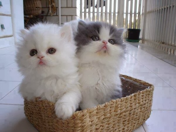 Funny cats - part 90 (40 pics + 10 gifs), two fluffy kittens inside a basket