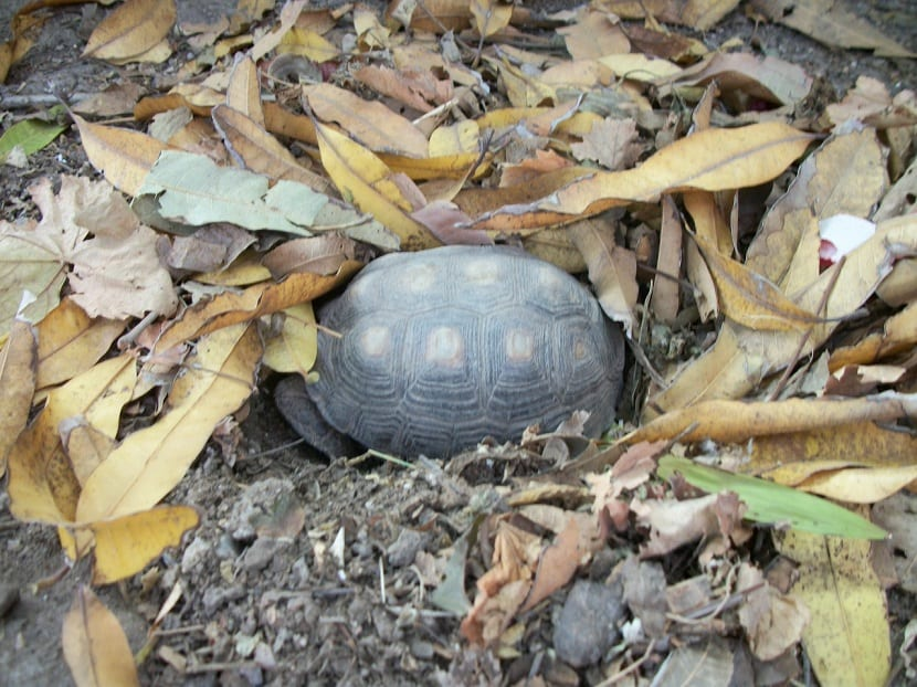tortuga hibernando