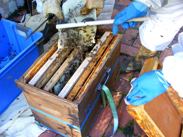 Brushing rescued honey bees into a hive, Indre et Loire, France. Photo by Loire Valley Time Travel.