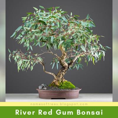 River Red Gum Bonsai