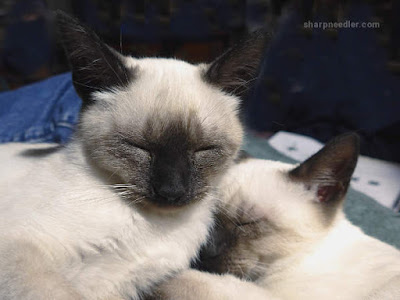 Two sleeping Siamese kittens.