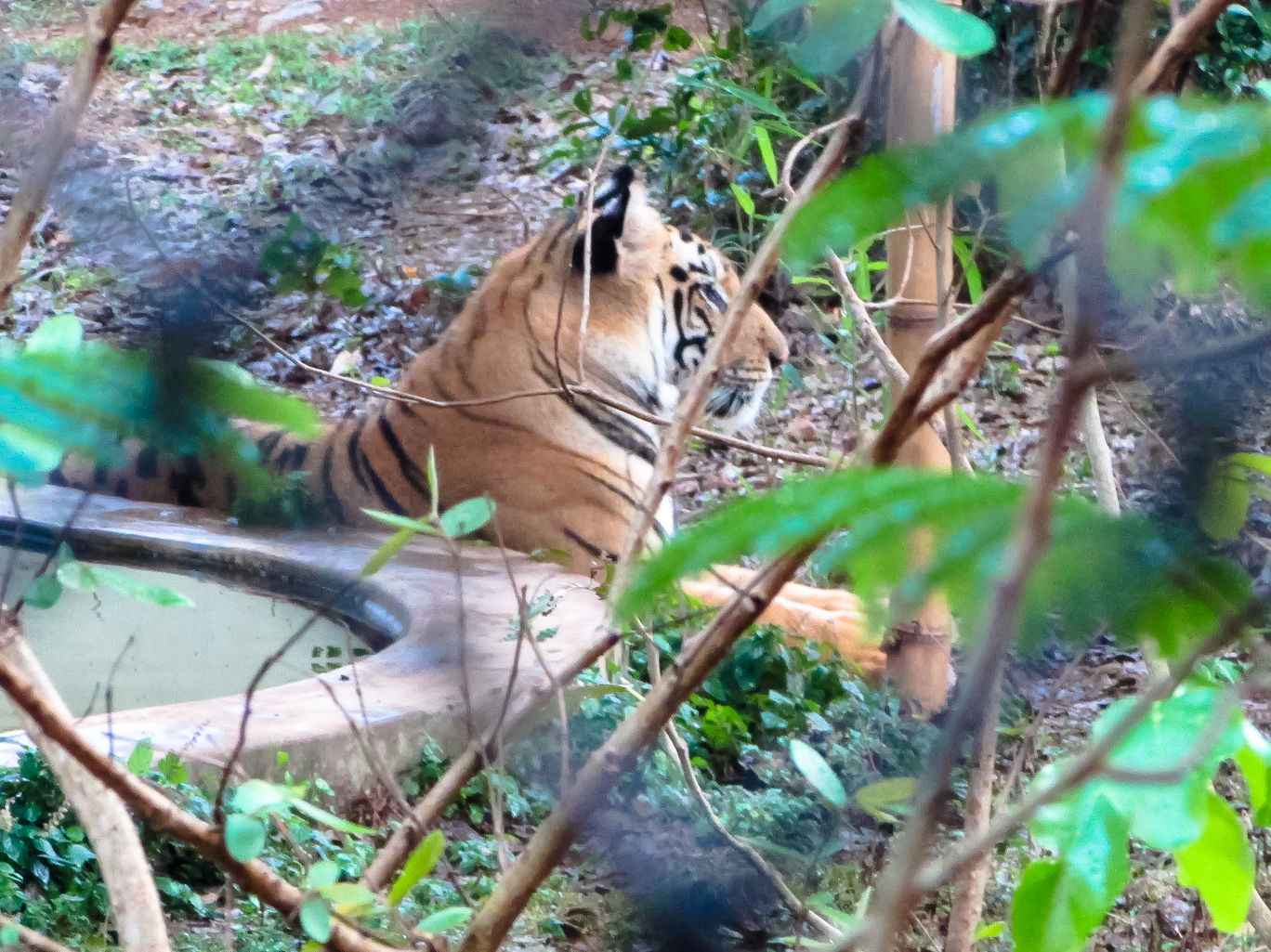 Tiger at the Nandankanan zoo
