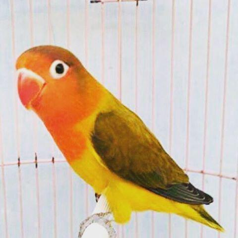 cara mencetak lovebird euwing green lovebirdseo