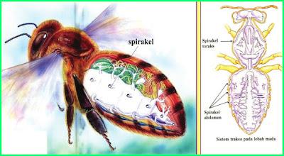 materi pelajaran tema 2 kelas 5 sd sistem pernapasan pada lebah atau insekta