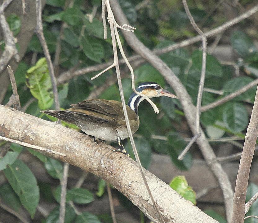 argentinian birds Ipequi Heliornis fulica