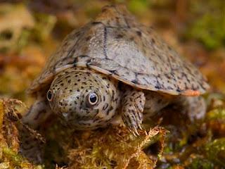 merawat-kura-kura-razorback.jpg