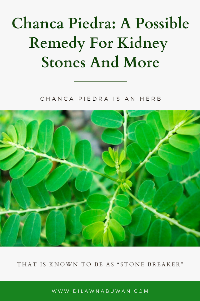 Chanca Piedra: A Possible Remedy For Kidney Stones And More