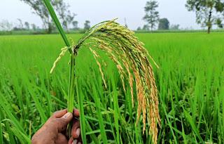 बासमती धान 1509 के मंडी भाव रेट। Basmati 1509 ke mandi rate