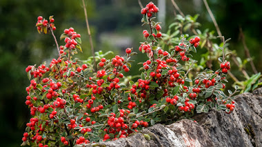 Cotoneaster, cultivo y variedades para el jardín