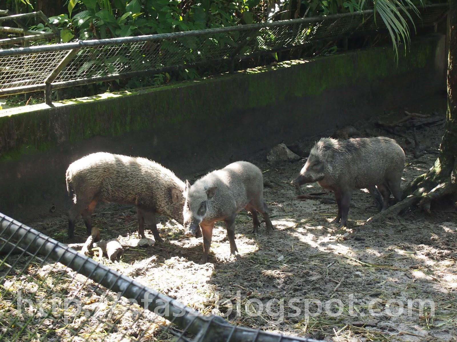 afaszcom Haiwanhaiwan di Zoo Taiping Part I