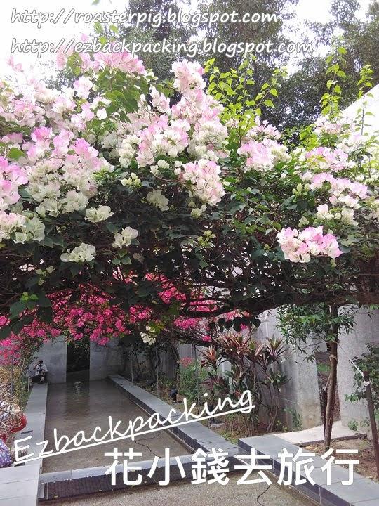 香港隱世簕粉紅杜鵑隧道:春天打卡好去處
