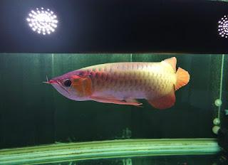 Jual  super red 45cm & Pacu albino,  Harga  super red 45cm & Pacu albino,  Toko  super red 45cm & Pacu albino,  Diskon  super red 45cm & Pacu albino,  Beli  super red 45cm & Pacu albino,  Review  super red 45cm & Pacu albino,  Promo  super red 45cm & Pacu albino,  Spesifikasi  super red 45cm & Pacu albino,   super red 45cm & Pacu albino Murah,   super red 45cm & Pacu albino Asli,   super red 45cm & Pacu albino Original,   super red 45cm & Pacu albino Jakarta,  Jenis  super red 45cm & Pacu albino,  Budidaya  super red 45cm & Pacu albino,  Peternak  super red 45cm & Pacu albino,  Cara Merawat  super red 45cm & Pacu albino,  Tips Merawat  super red 45cm & Pacu albino,  Bagaimana cara merawat  super red 45cm & Pacu albino,  Bagaimana mengobati  super red 45cm & Pacu albino,  Ciri-Ciri Hamil  super red 45cm & Pacu albino,  Kandang  super red 45cm & Pacu albino,  Ternak  super red 45cm & Pacu albino,  Makanan  super red 45cm & Pacu albino,   super red 45cm & Pacu albino Termahal,  Adopsi  super red 45cm & Pacu albino,  Jual Cepat  super red 45cm & Pacu albino,  Kreatif  super red 45cm & Pacu albino,  Desain  super red 45cm & Pacu albino,  Order  super red 45cm & Pacu albino,  Kado  super red 45cm & Pacu albino,  Cara Buat  super red 45cm & Pacu albino,  Pesan  super red 45cm & Pacu albino,  Wisuda  super red 45cm & Pacu albino,  Ultah  super red 45cm & Pacu albino,  Nikah  super red 45cm & Pacu albino,  Wedding  super red 45cm & Pacu albino,  Flanel  super red 45cm & Pacu albino,  Special  super red 45cm & Pacu albino,  Suprise  super red 45cm & Pacu albino,  Anniversary  super red 45cm & Pacu albino,  Moment  super red 45cm & Pacu albino,  Istimewa   super red 45cm & Pacu albino,  Kasih Sayang   super red 45cm & Pacu albino,  Valentine   super red 45cm & Pacu albino,  Tersayang  super red 45cm & Pacu albino,  Unik  super red 45cm & Pacu albino,