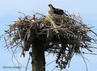 Osprey nest (the one on electrical  pole above) with a young - Morell, PEI, by Denise Motard