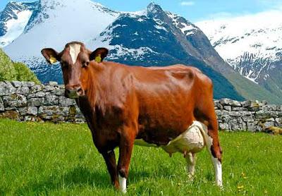 Raza de ganado rojo noruego