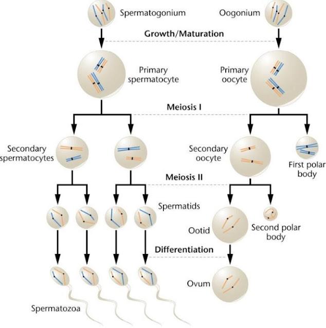 Perbedaan Oogenesis dan Spermatogenesis