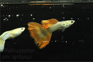 Jual Red Lace Guppy,  Harga Red Lace Guppy,  Toko Red Lace Guppy,  Diskon Red Lace Guppy,  Beli Red Lace Guppy,  Review Red Lace Guppy,  Promo Red Lace Guppy,  Spesifikasi Red Lace Guppy,  Red Lace Guppy Murah,  Red Lace Guppy Asli,  Red Lace Guppy Original,  Red Lace Guppy Jakarta,  Jenis Red Lace Guppy,  Budidaya Red Lace Guppy,  Peternak Red Lace Guppy,  Cara Merawat Red Lace Guppy,  Tips Merawat Red Lace Guppy,  Bagaimana cara merawat Red Lace Guppy,  Bagaimana mengobati Red Lace Guppy,  Ciri-Ciri Hamil Red Lace Guppy,  Kandang Red Lace Guppy,  Ternak Red Lace Guppy,  Makanan Red Lace Guppy,  Red Lace Guppy Termahal,  Adopsi Red Lace Guppy,  Jual Cepat Red Lace Guppy,