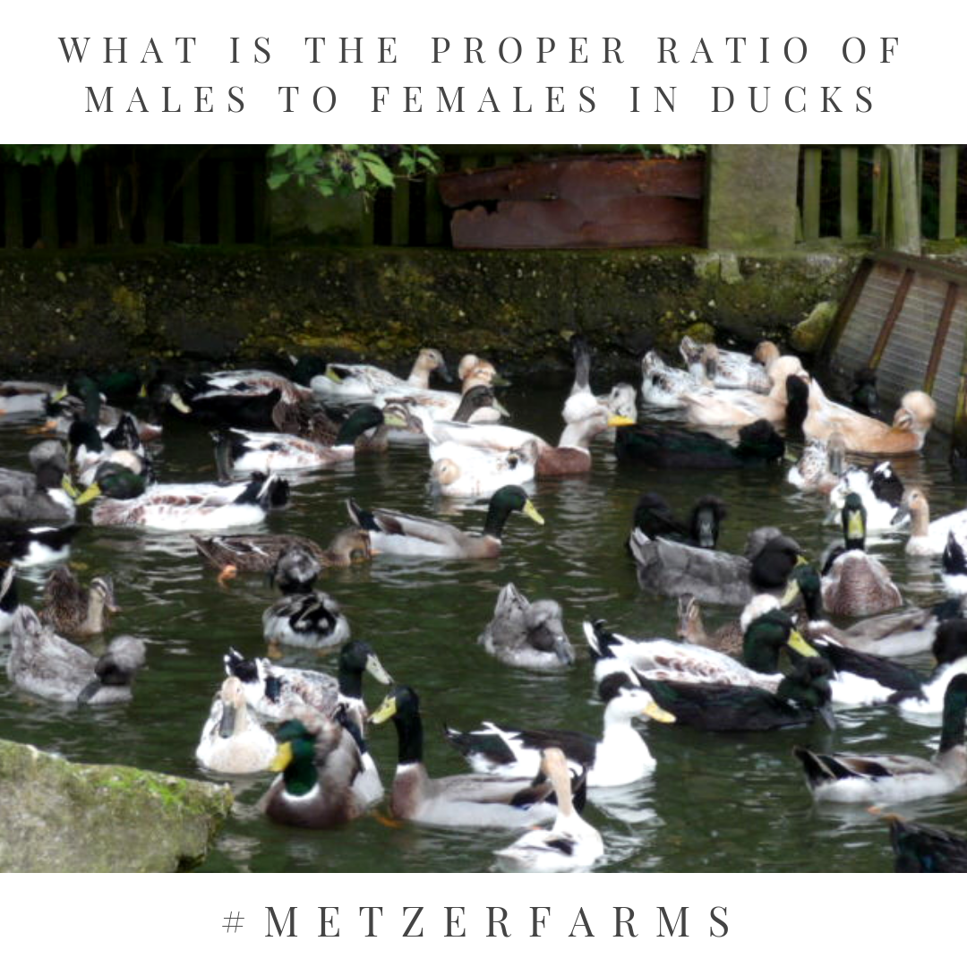 Metzer Farms Duck And Goose Blog Male To Female Ratio How
