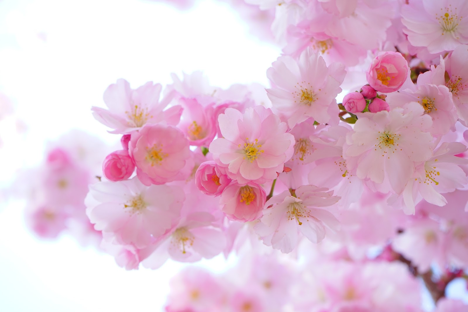 japanese-cherry-trees, flower wallpaper images