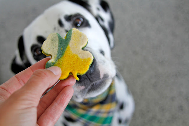 Dalmatian dog begging for a marbled white green and gold four leaf clover St. Patrick's Day dog treat