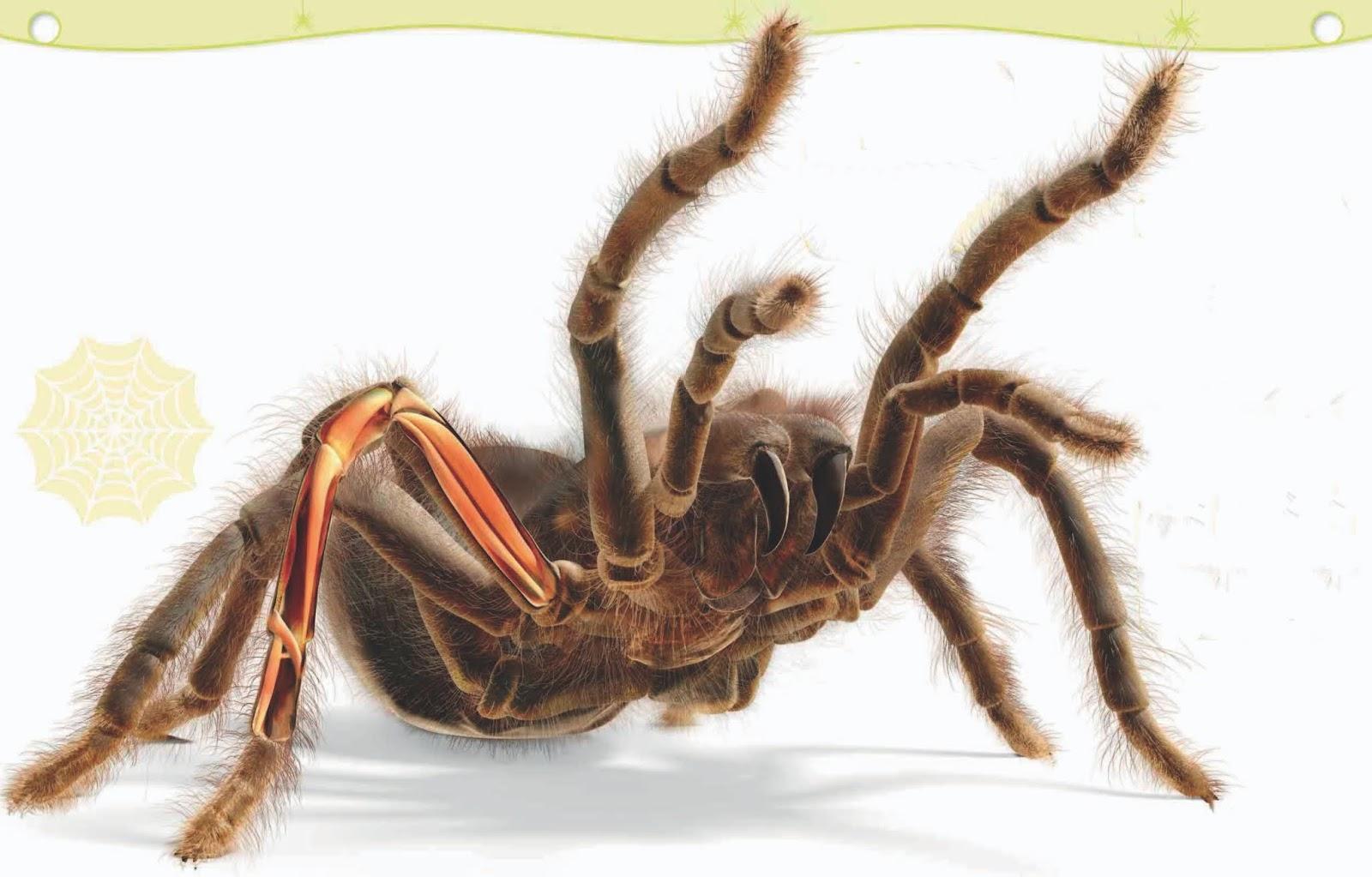 Laba-laba tarantula