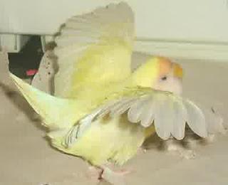 sayap lovebird sakit