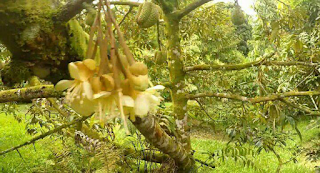Cara Mengguakan Pupuk Nasa untuk Durian