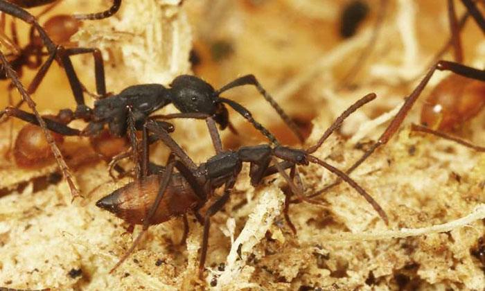 Kumbang yang Meniru Semut