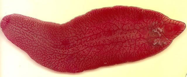 motylica płazińce