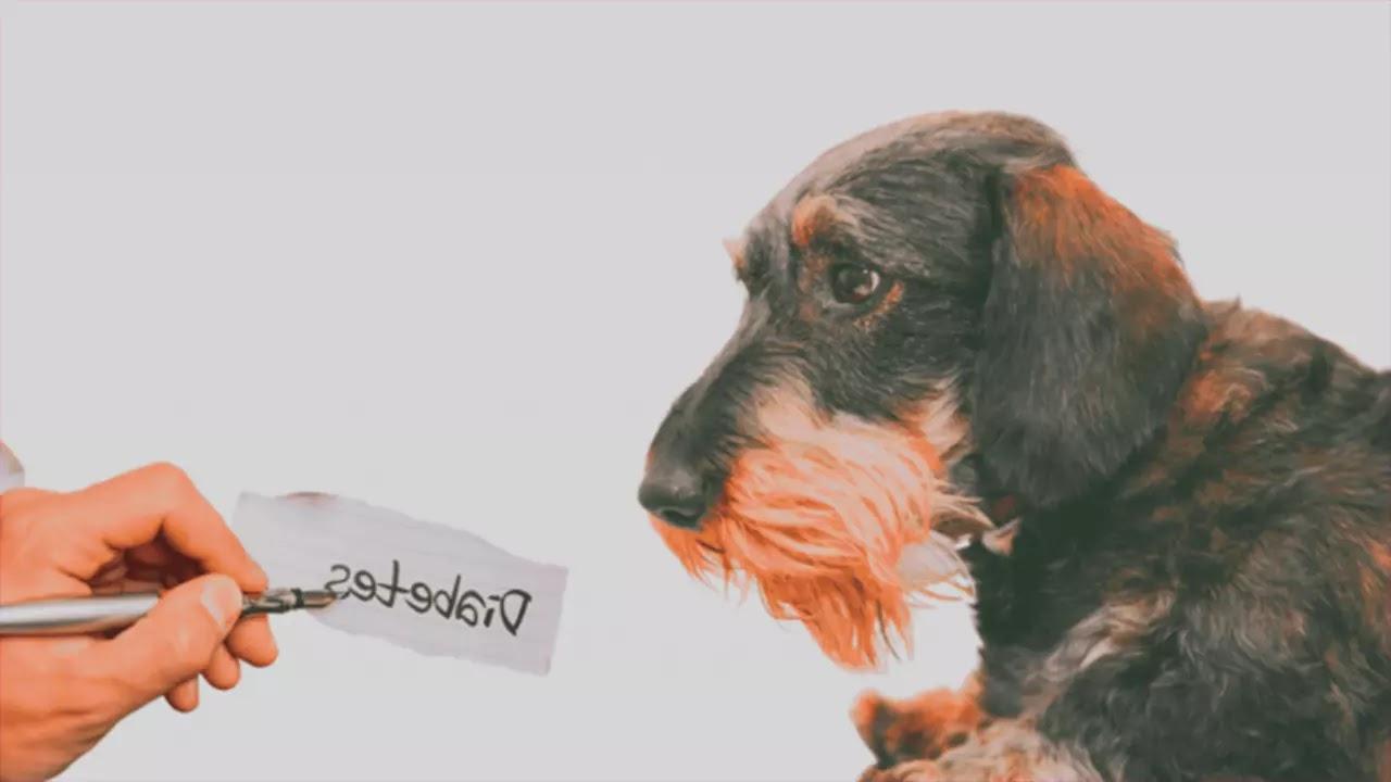 Diabète insipide chien : Les causes, symptômes et traitement