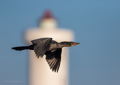 Cormorant Flying Past Milnerton Lighthouse / Woodbridge Island