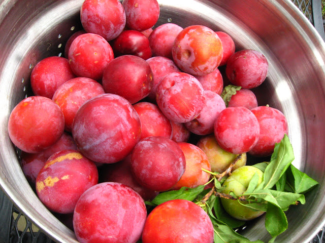 Barren Tree Bears Plums for the Last Time