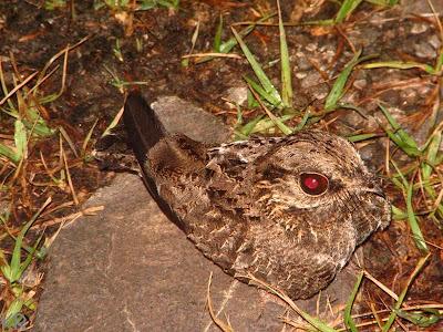 Atajacaminos ala negra Eleothreptus anomalus