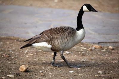 Figure:  Name this Goose species